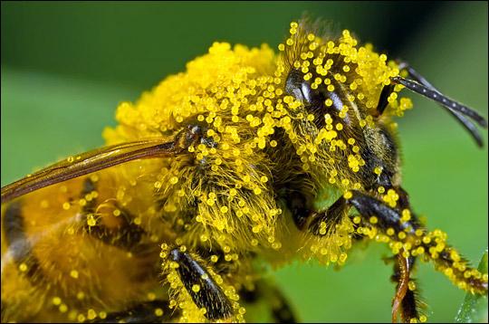 lebah-dengan-serbuk-bunga